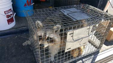 raccoon-in-spartan-cage