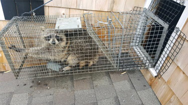 raccoon-trapped-by-spartan