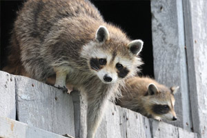 Spartan Pest Raccoons