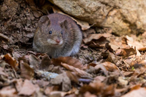 spartan-pest-field-mouse