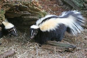 spartan-pest-skunk